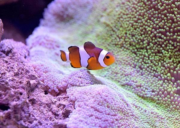 clownfish-1453906_960_720-2.jpg