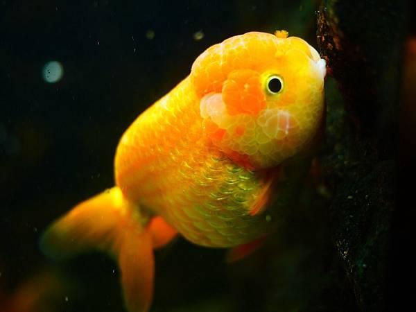 goldfish-1071842_960_720.jpg