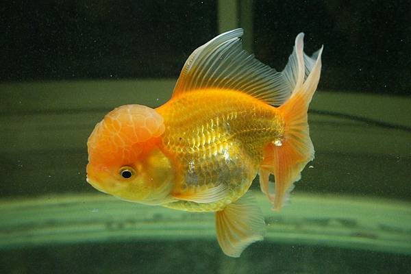 goldfish-1456247_960_720.jpg