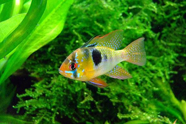 butterfly-cichlid-379074_960_720-2.jpg