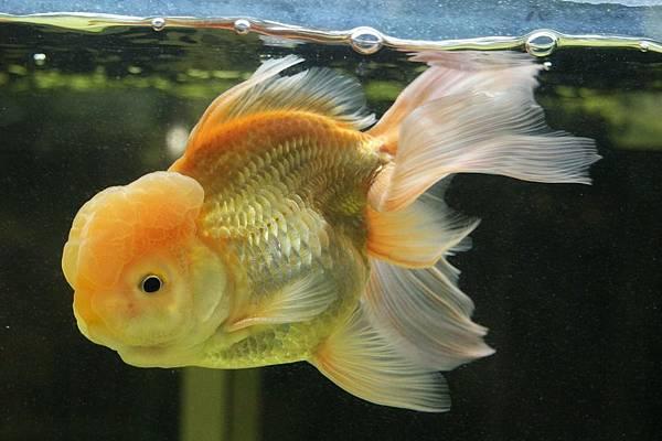 goldfish-1454617_960_720.jpg