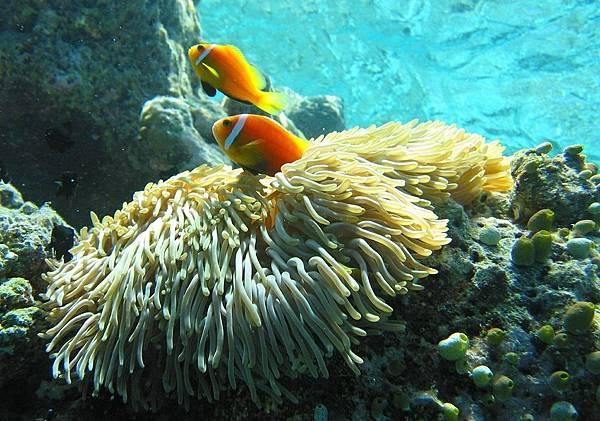 maldive-anemonefish-585779_1280.jpg
