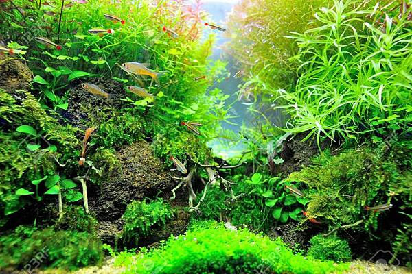 16110919-Beautiful-planted-tropical-aquarium-with-fishes-Stock-Photo-aquarium-fish-tank.jpg