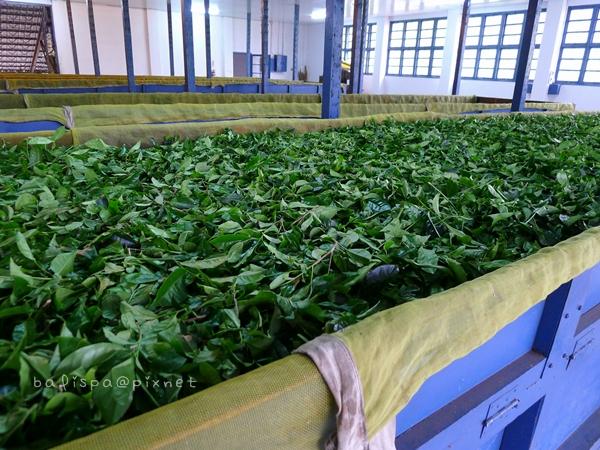 茶菁萎凋區