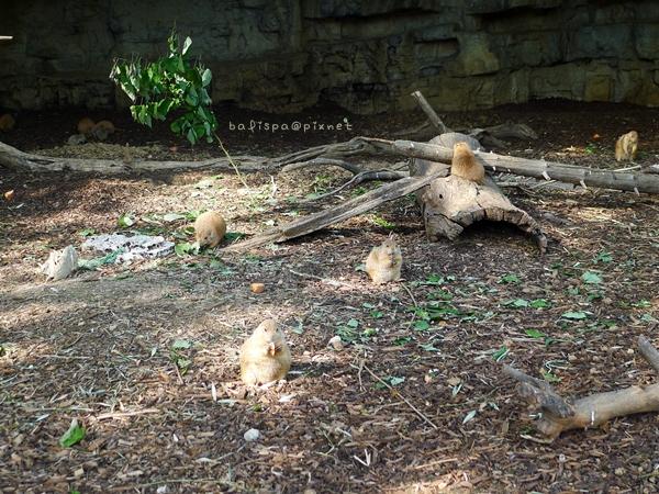 土撥鼠家族