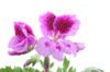 geranium100.jpg
