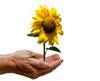Sunflower100.jpg