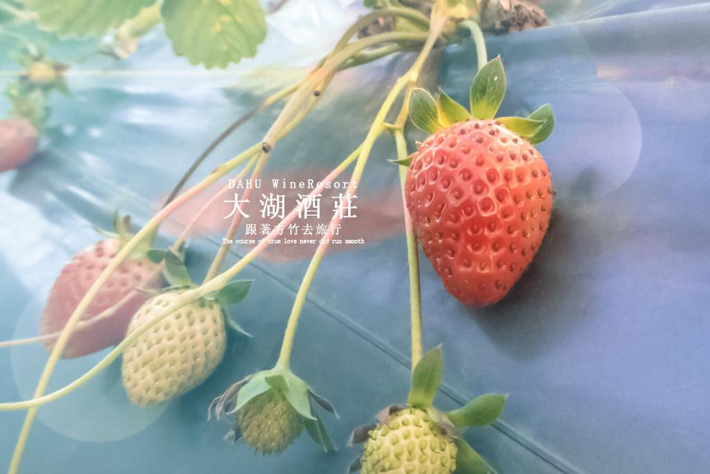 00【苗栗大湖鄉】大湖酒莊採草莓趣│超好玩~免費景點!│這樣洗草莓最乾淨-跟著方竹去旅行.jpg