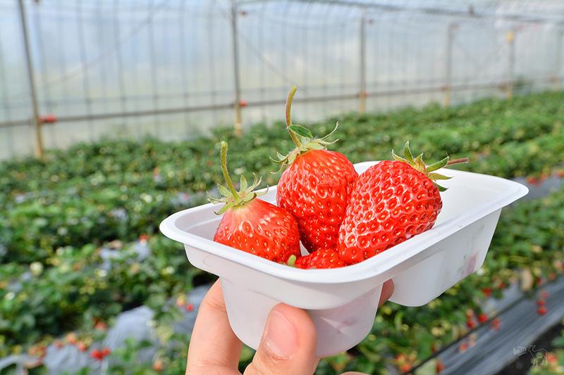 日本採草莓:韮山摘草莓中心(いちご狩りセンター)&世界遺產韮山反射爐,伊豆之國市景點,靜岡旅遊自由行