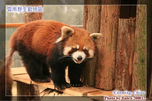 雲南野生動物園-小貓熊