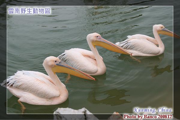 雲南野生動物園-鵜鶘