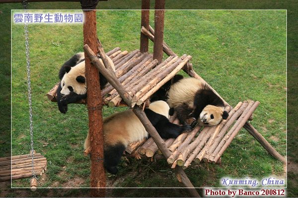 雲南野生動物園-大貓熊