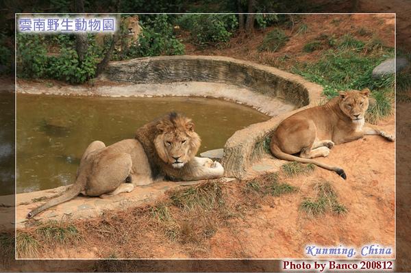 雲南野生動物園-獅子