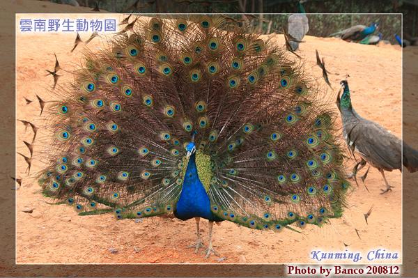 雲南野生動物園-孔雀開屏