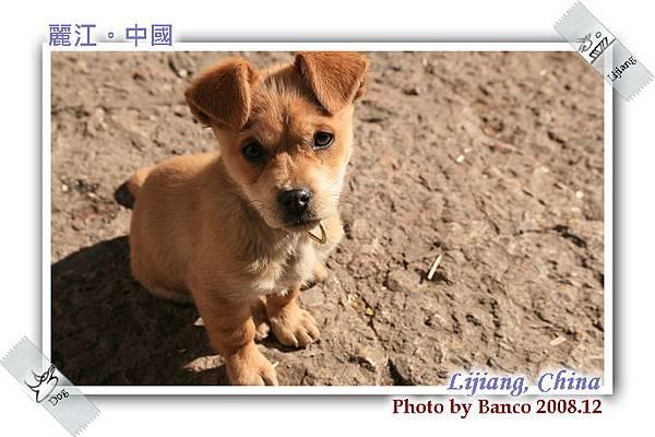麗江古城街上的幼犬