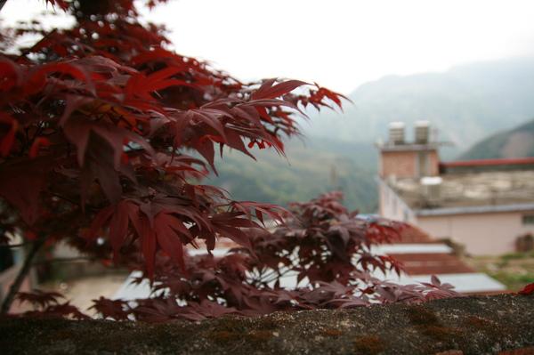 田埔的楓紅