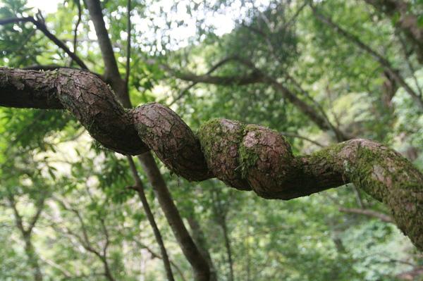 詭異蜷曲的樹枝