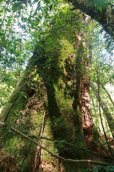 巨木 n+1