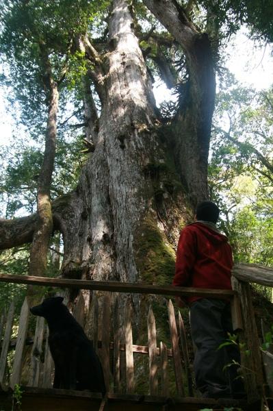 最大的巨木 YaYa