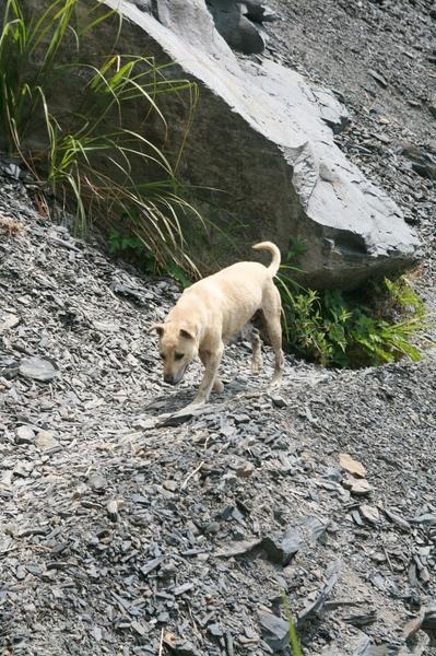 跛腳白狗從巨木區一路尾隨到部落