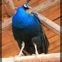 雲南野生動物園-孔雀