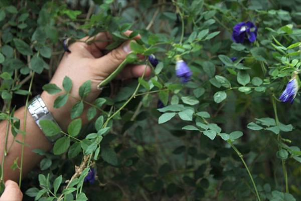 藍花 butterfly pea flower.JPG