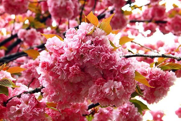 170427 bbg cherry blossom (287).JPG