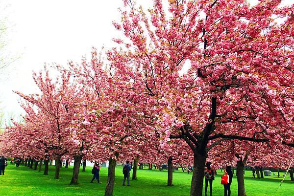 170427 bbg cherry blossom (268).JPG