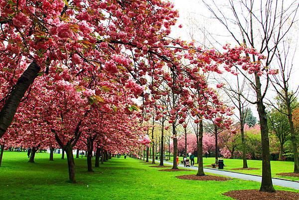 170427 bbg cherry blossom (288).JPG