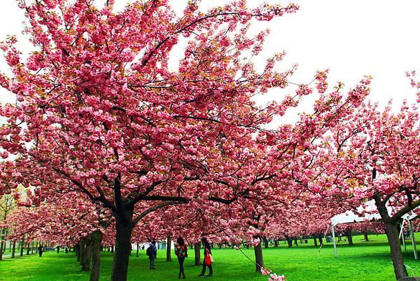 170427 bbg cherry blossom (270).JPG