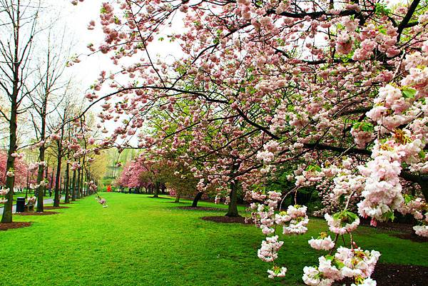 170427 bbg cherry blossom (292).JPG