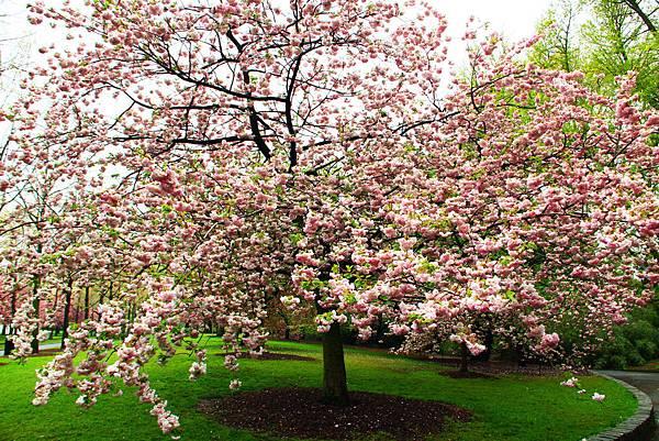 170427 bbg cherry blossom (300).JPG