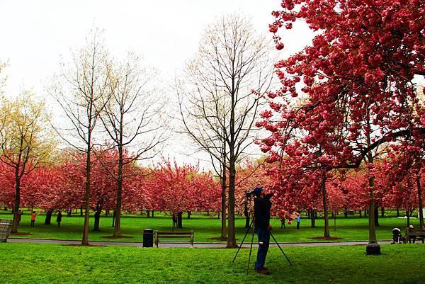 170427 bbg cherry blossom (329).JPG