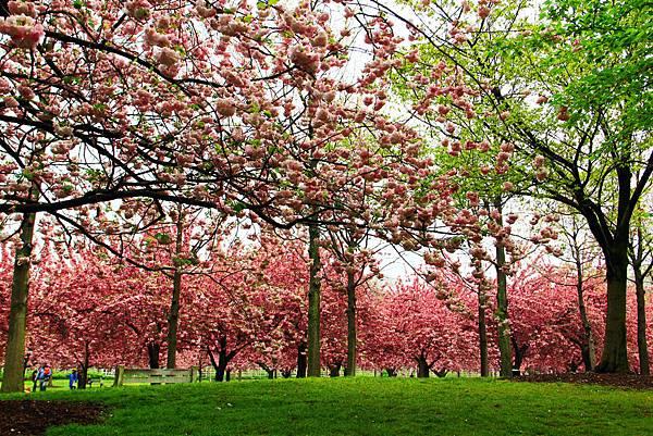 170427 bbg cherry blossom (312).JPG