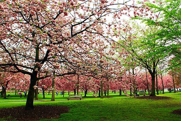 170427 bbg cherry blossom (310).JPG