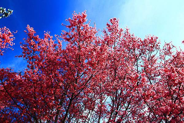 180408 corona cherry blossom (56).jpg