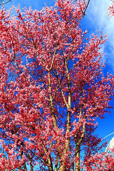180408 corona cherry blossom (126).jpg
