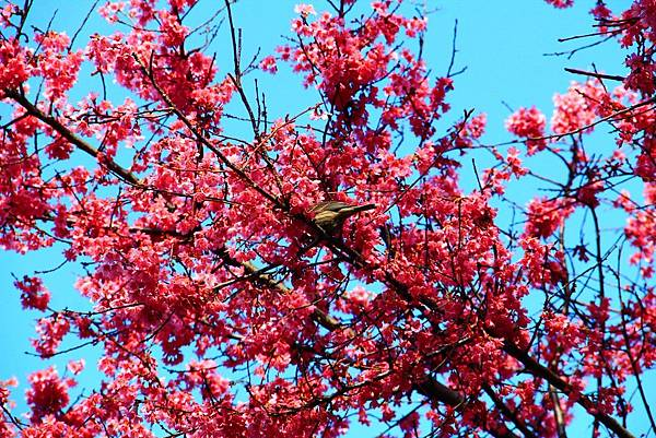 180408 corona cherry blossom (166).jpg