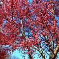 180408 corona cherry blossom (127).jpg