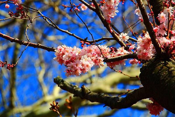 180408 corona cherry blossom (217).jpg
