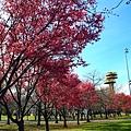 180408 corona cherry blossom (184).jpg