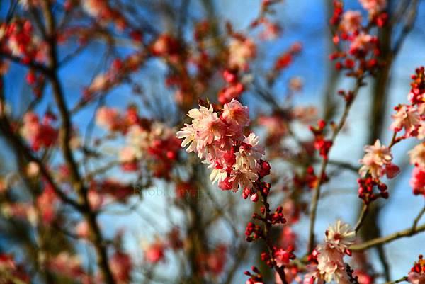 180408 corona cherry blossom (14).jpg