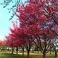 180408 corona cherry blossom (45).jpg