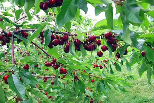 180624 fishkill cherry picking (129).jpg