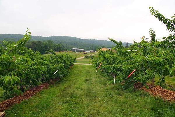 180624 fishkill cherry picking (155).jpg