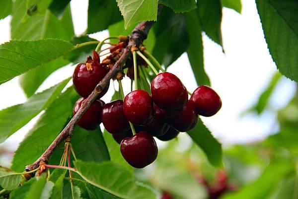180624 fishkill cherry picking (223).jpg