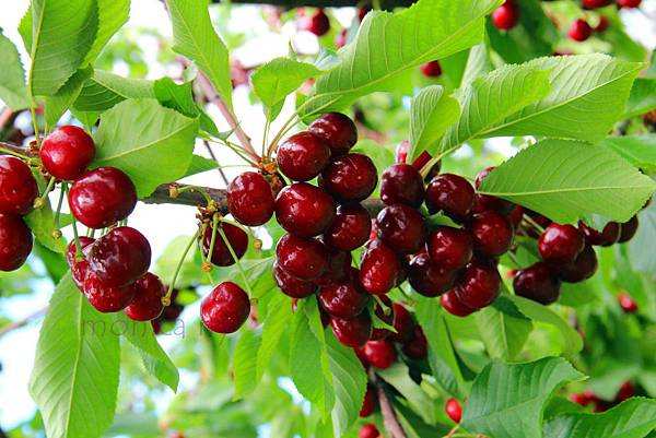 180624 fishkill cherry picking (247).jpg
