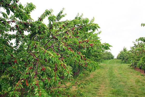 180624 fishkill cherry picking (221).jpg