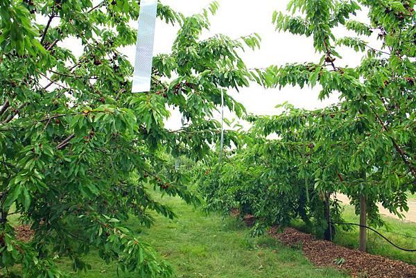 180624 fishkill cherry picking (124).jpg