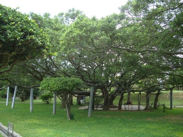 榕園-老榕樹